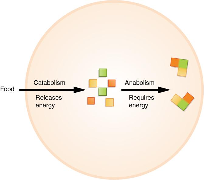 Catabolismo delle proteine